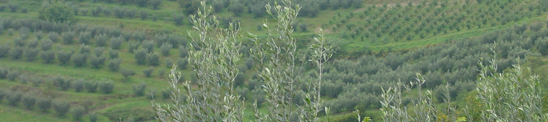 Olivisecolari